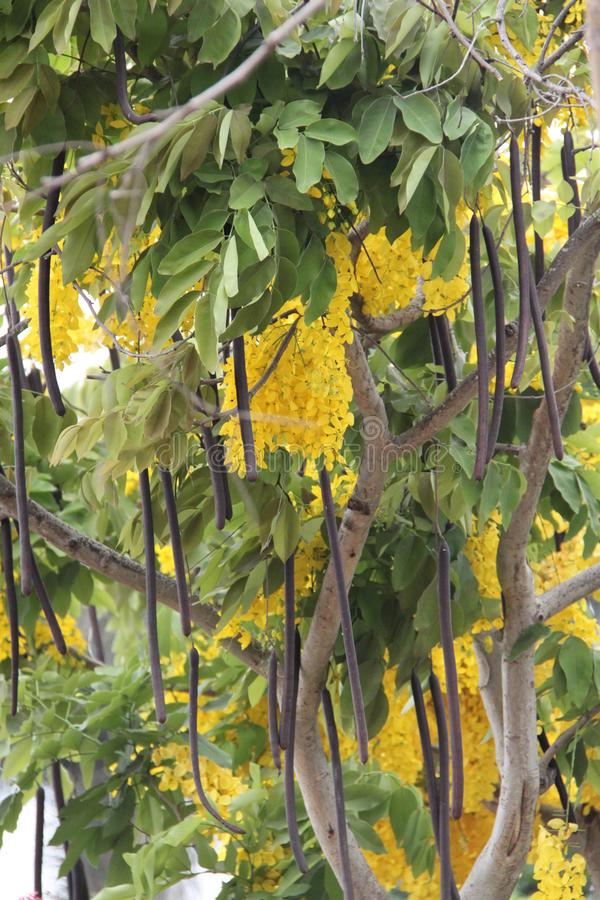 Gouden regenboom royalty-vrije stock foto