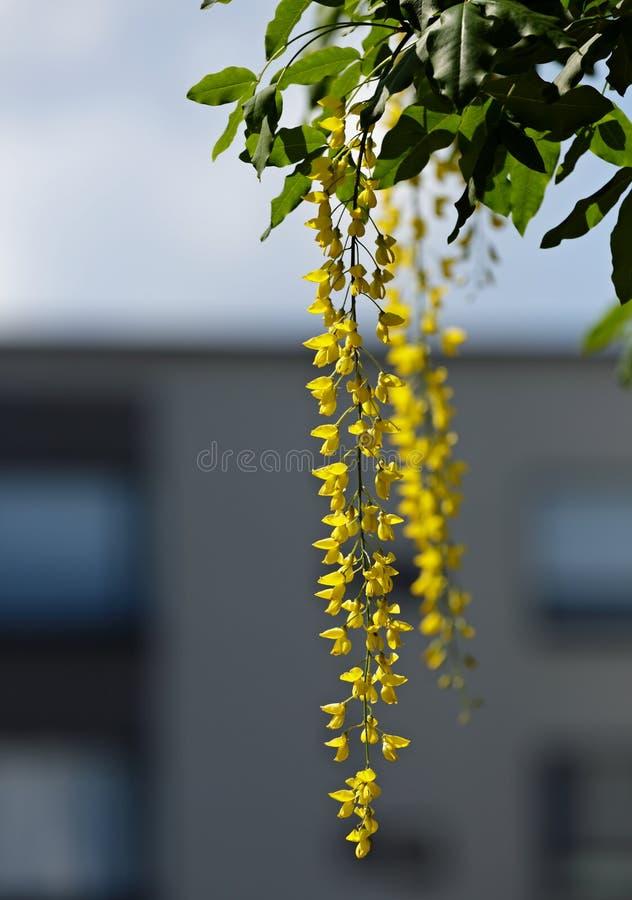 Gouden regenboom met gele bloemen royalty-vrije stock afbeeldingen