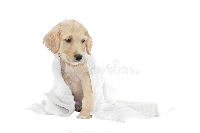 Gouden retrieverpuppy en handdoek royalty-vrije stock afbeeldingen