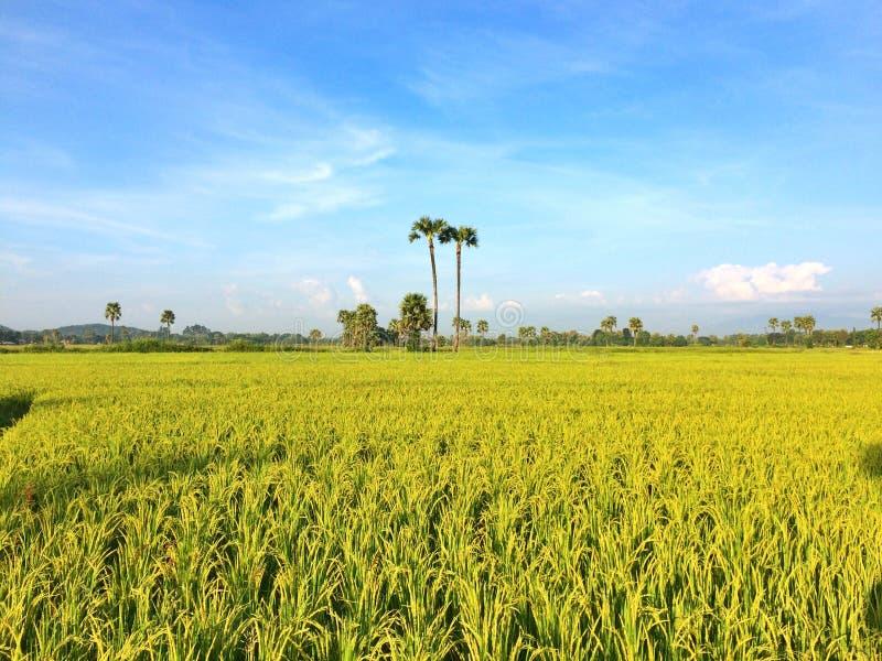 Gouden rijst royalty-vrije stock afbeeldingen