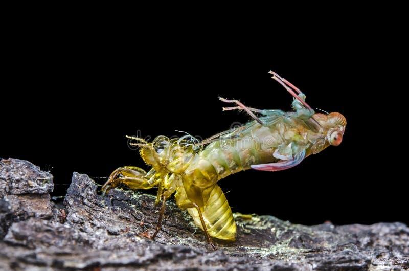 Gouden ruiende cicade stock afbeeldingen