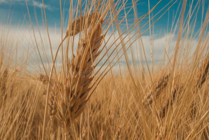 Gouden spiked tarwe onder een blauwe hemel met wolken stock afbeeldingen