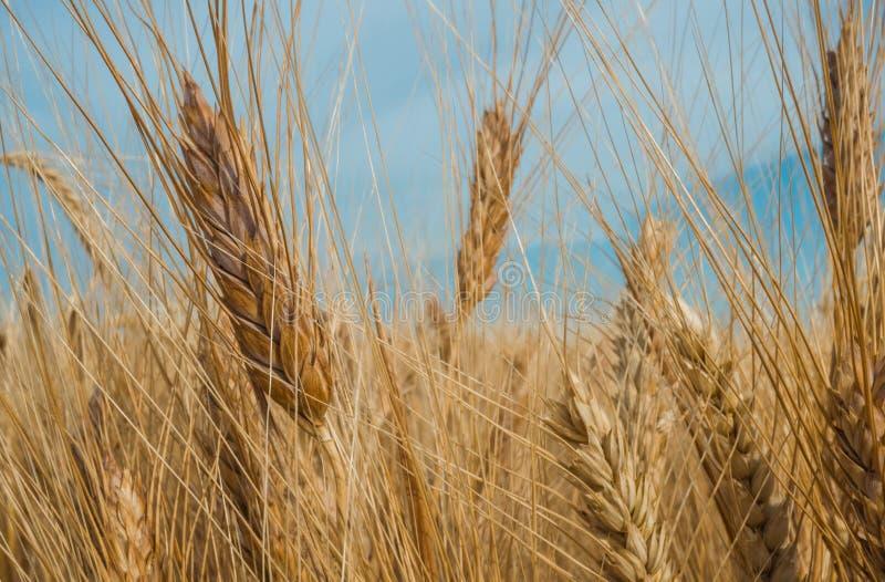 Gouden spiked tarwe onder een blauwe hemel met wolken royalty-vrije stock foto's
