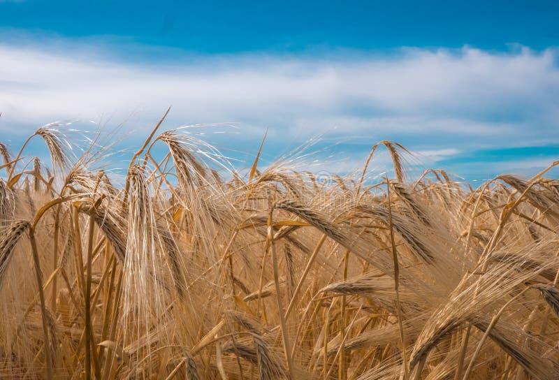 Gouden spiked tarwe onder een blauwe hemel met wolken royalty-vrije stock afbeeldingen