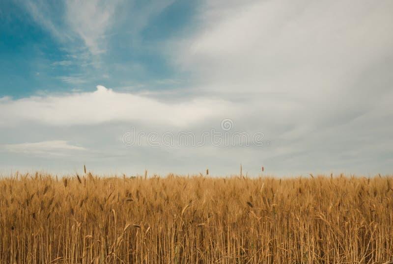 Gouden spiked tarwe onder een blauwe hemel met wolken stock afbeelding