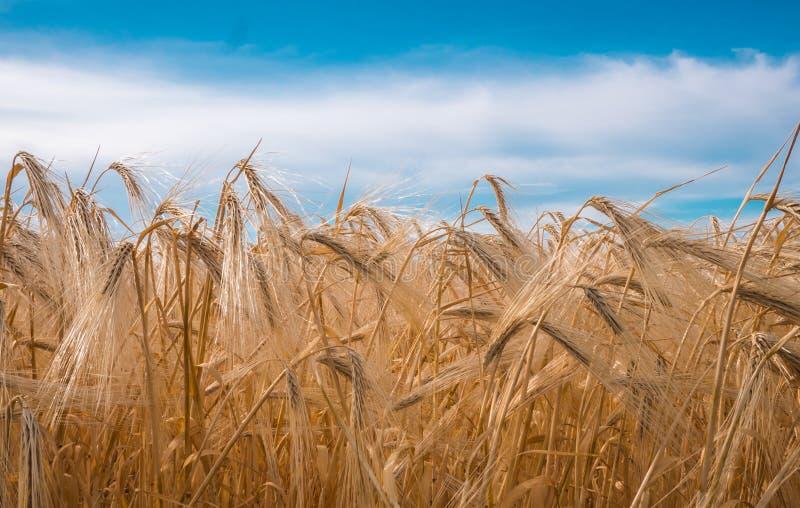 Gouden spiked tarwe onder een blauwe hemel met wolken royalty-vrije stock fotografie