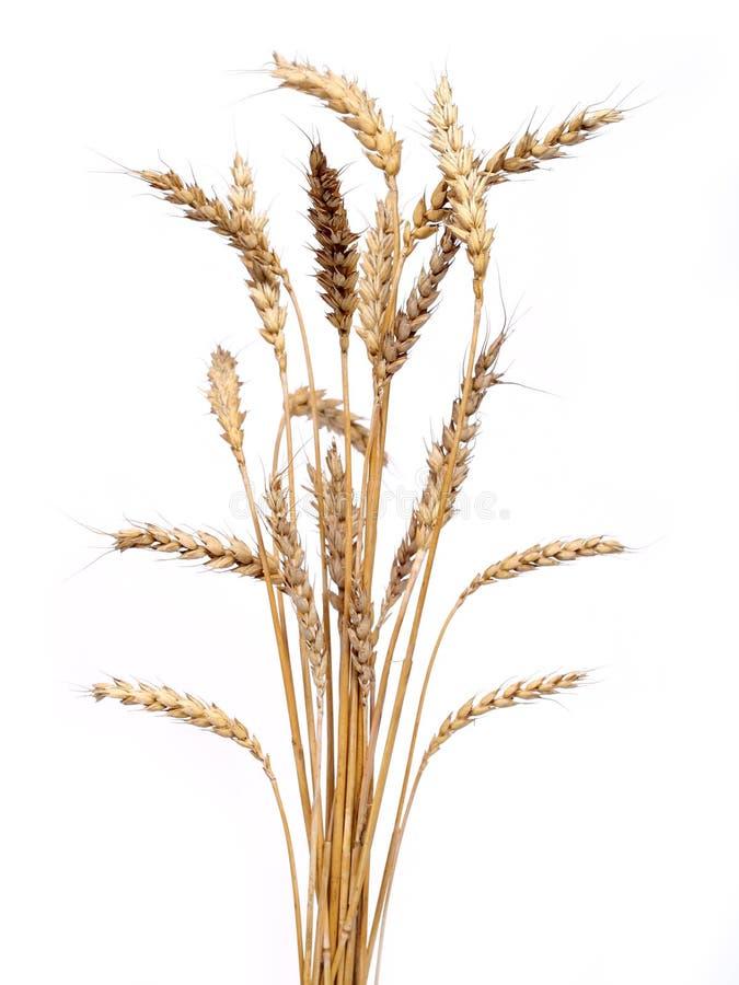 Gouden tarwe stock afbeelding