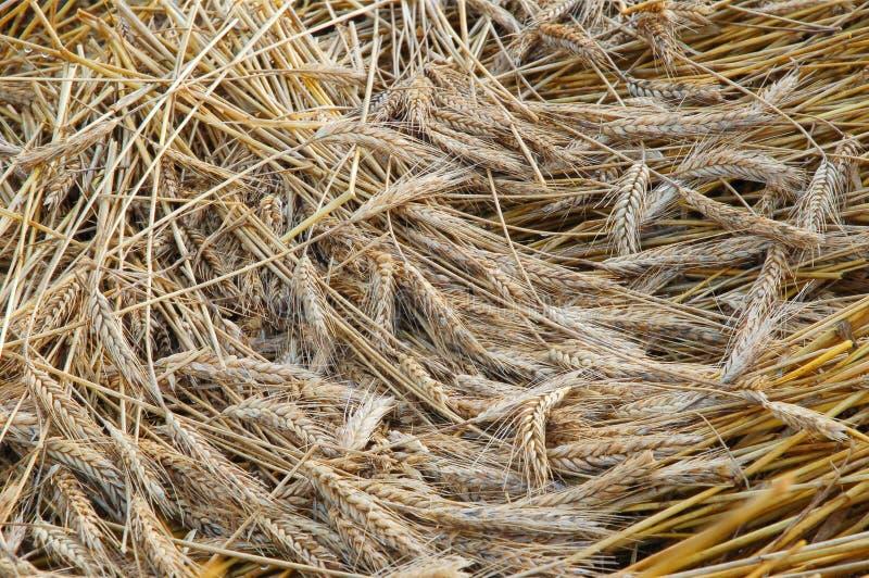 Gouden tarwe royalty-vrije stock afbeelding