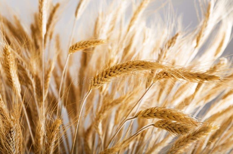Gouden tarwe stock afbeeldingen