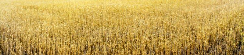 Gouden tarwe vroege ochtend door de zomer stock foto's