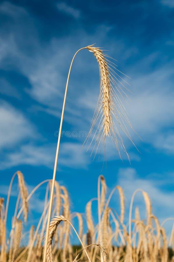 Gouden tarweaar tegen blauwe hemel stock afbeeldingen