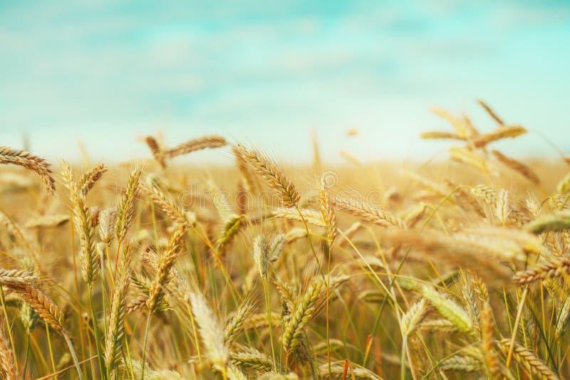 Gouden tarwegebied, blauwe hemel royalty-vrije stock foto