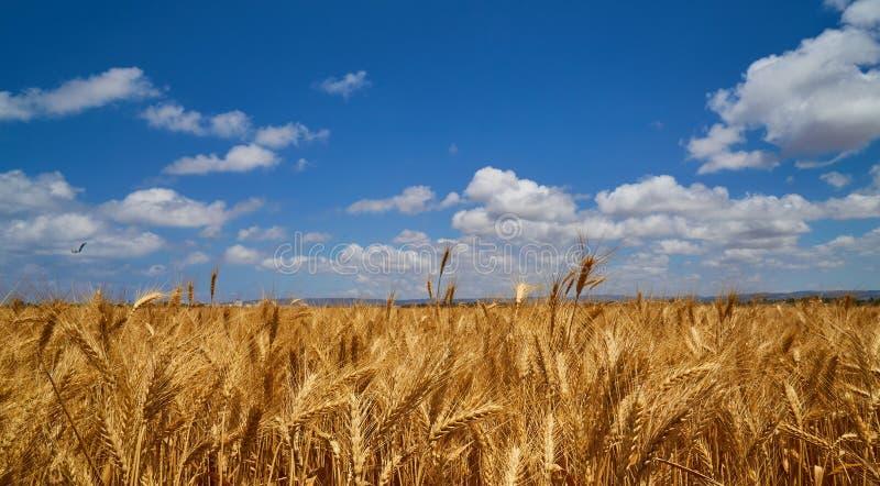 Gouden tarwegebied en blauwe hemel royalty-vrije stock foto