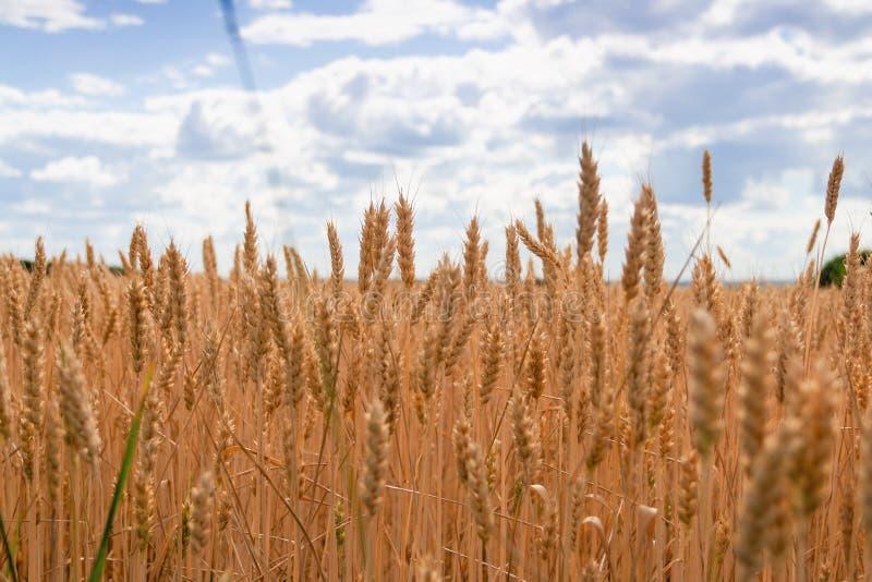 Gouden tarwegebied en blauwe hemel Achtergrond van rijpende oren van tarwegebied stock foto