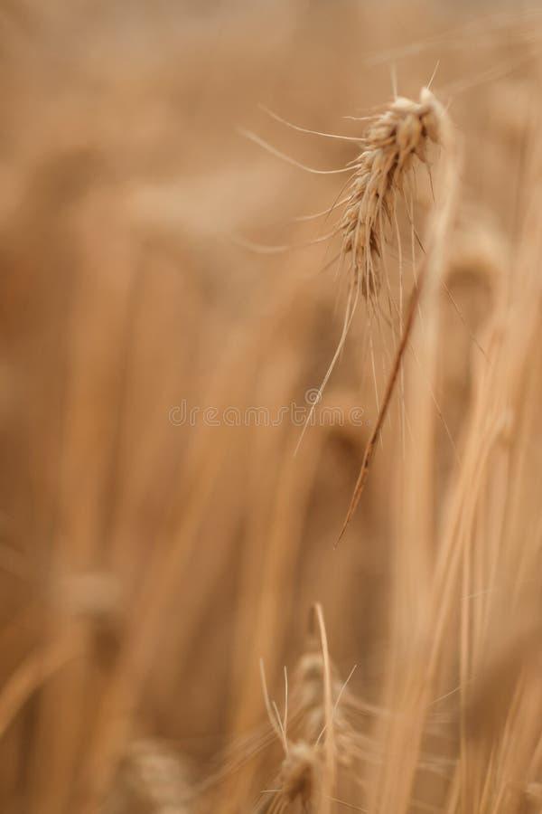 Gouden tarwegebied en zonnige dag stock afbeeldingen