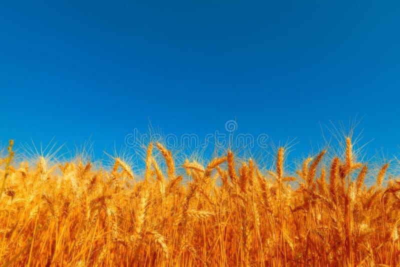 Gouden tarwegebied en zonnige dag royalty-vrije stock foto