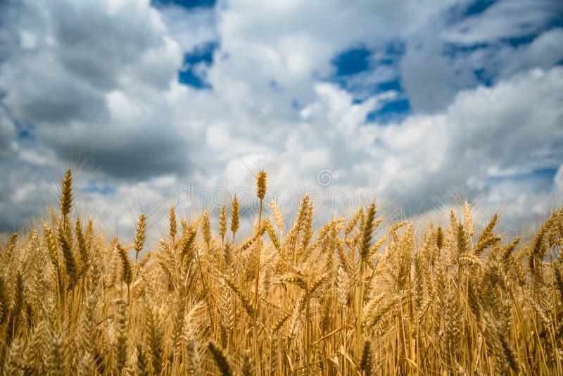 Gouden tarwegebied met blauwe hemel stock foto's