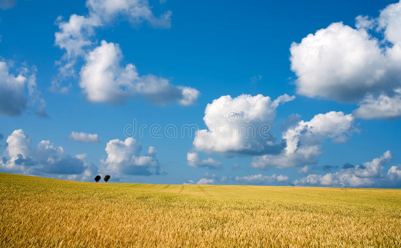 Gouden tarwegebied met blauwe hemel op achtergrond royalty-vrije stock foto