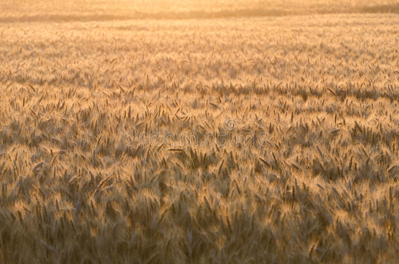 Gouden tarwegebied in ochtend stock afbeelding