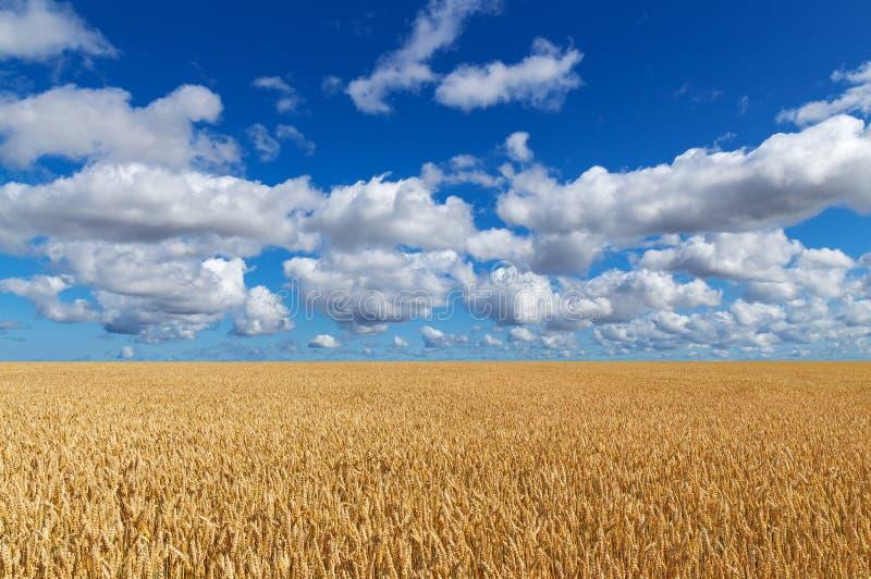 Gouden tarwegebied onder blauwe hemel stock afbeeldingen