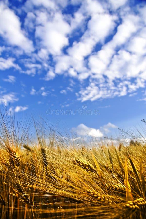 Gouden tarwegebied op een blauwe hemel royalty-vrije stock fotografie