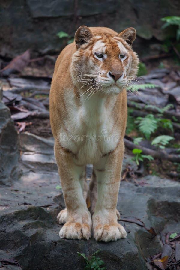 Gouden tijger stock foto's