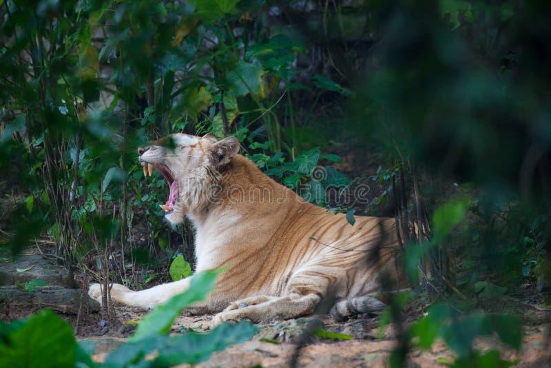 Gouden tijger stock afbeelding
