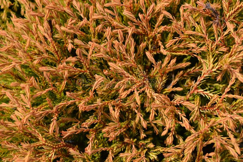 Gouden Tuffet Arborvitae stock foto's