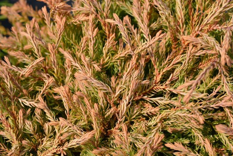 Gouden Tuffet Arborvitae stock afbeelding