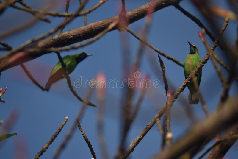 Gouden uitgezien op Leafbird royalty-vrije stock foto