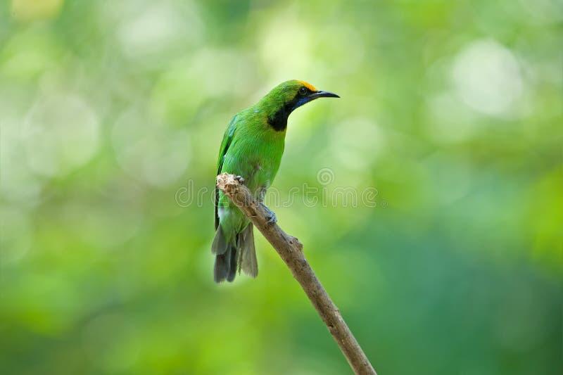 Gouden uitgezien op Leafbird stock fotografie