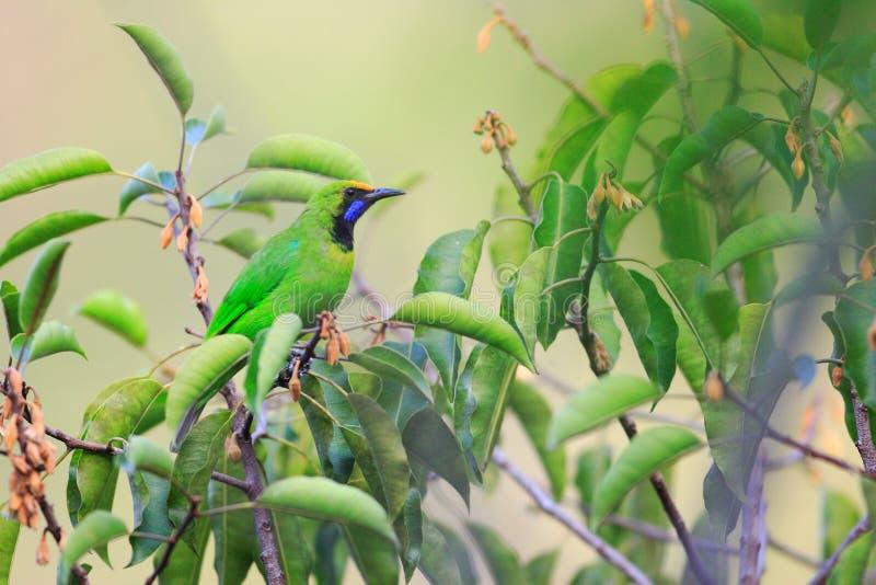 Gouden-uitgezien op Leafbird stock foto