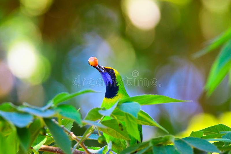 Gouden-uitgezien op Leafbird royalty-vrije stock foto's