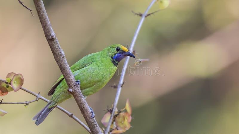 Gouden-uitgezien op Leafbird op Boom royalty-vrije stock afbeeldingen