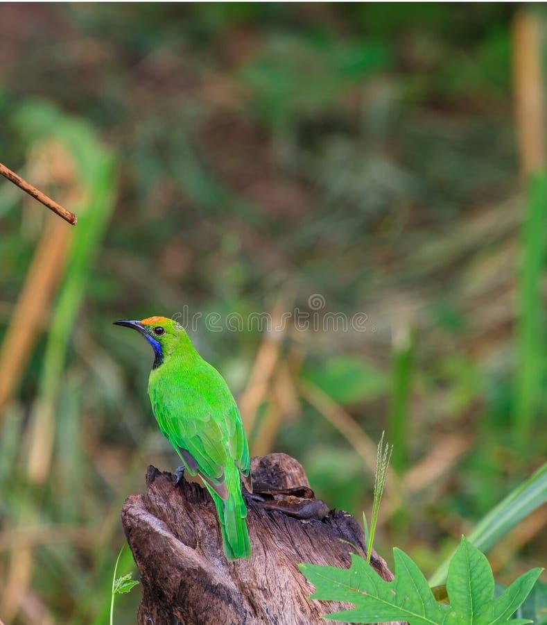 Gouden-uitgezien op leafbird op de tak royalty-vrije stock fotografie