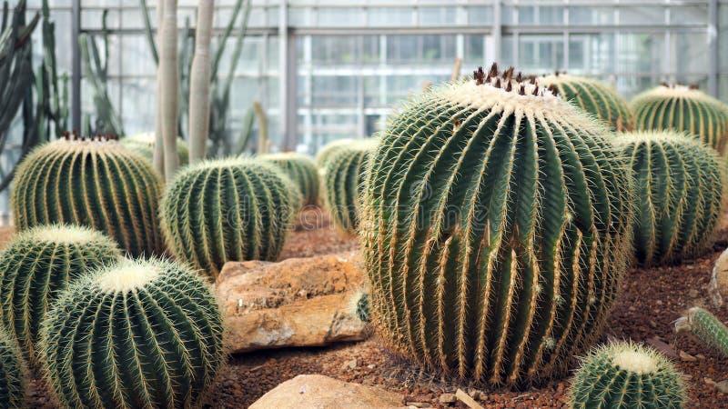 Gouden van vatcactus of Echinocactus grusonii in de botanische tuin Sluit van omhoog ronde groene cactaceae met aren Echinocactu royalty-vrije stock fotografie