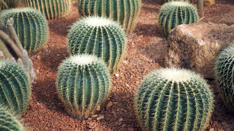 Gouden van vatcactus of Echinocactus grusonii in de botanische tuin Sluit van omhoog ronde groene cactaceae met aren Echinocactu royalty-vrije stock foto