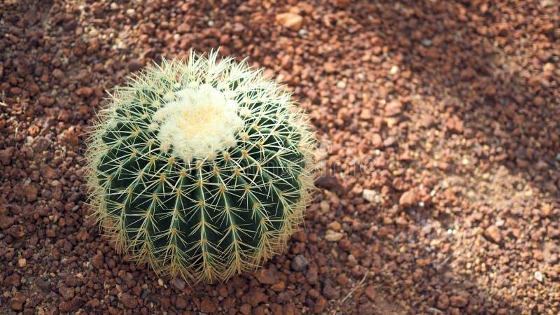 Gouden van vatcactus of Echinocactus grusonii in de botanische tuin Sluit van omhoog ronde groene cactaceae met aren Echinocactu stock foto's