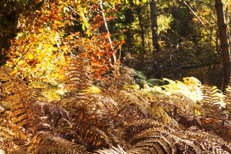 Gouden varenbladeren in een kleurrijke de herfst bosscène royalty-vrije stock afbeelding