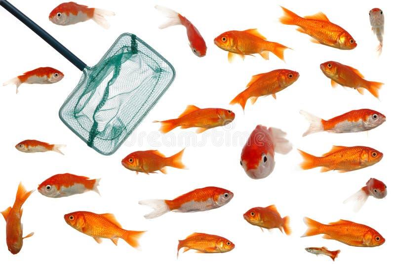 gouden vissen en netto royalty-vrije stock afbeelding