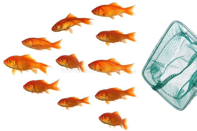 Gouden vissen en netto royalty-vrije stock foto