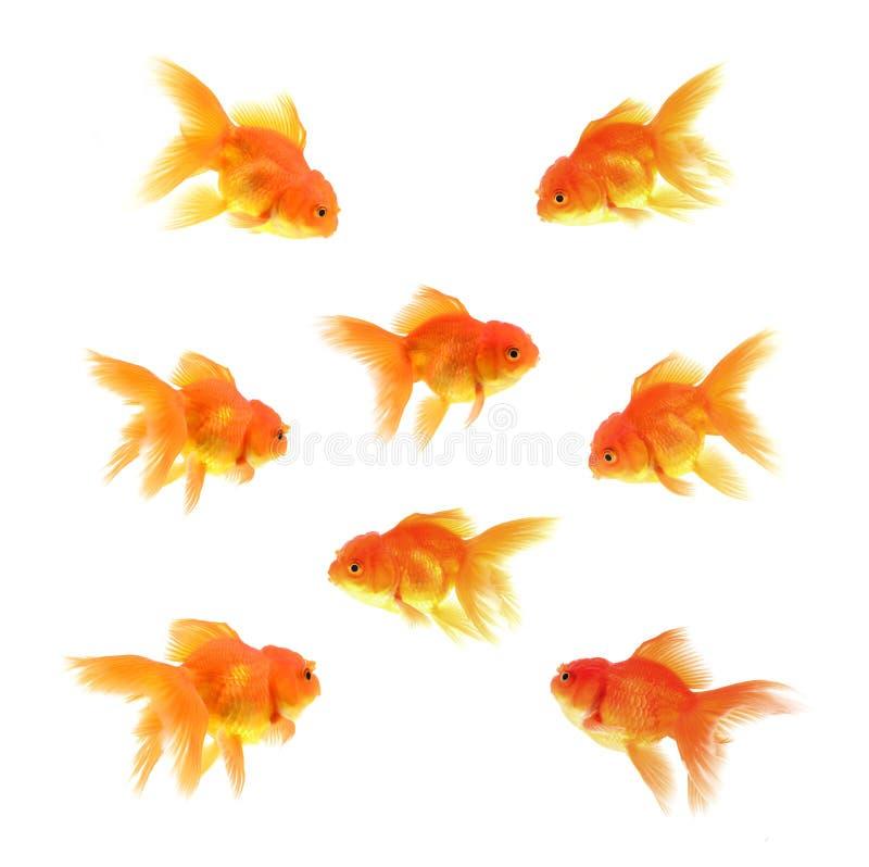 Gouden vissen met witte achtergrond royalty-vrije stock foto's
