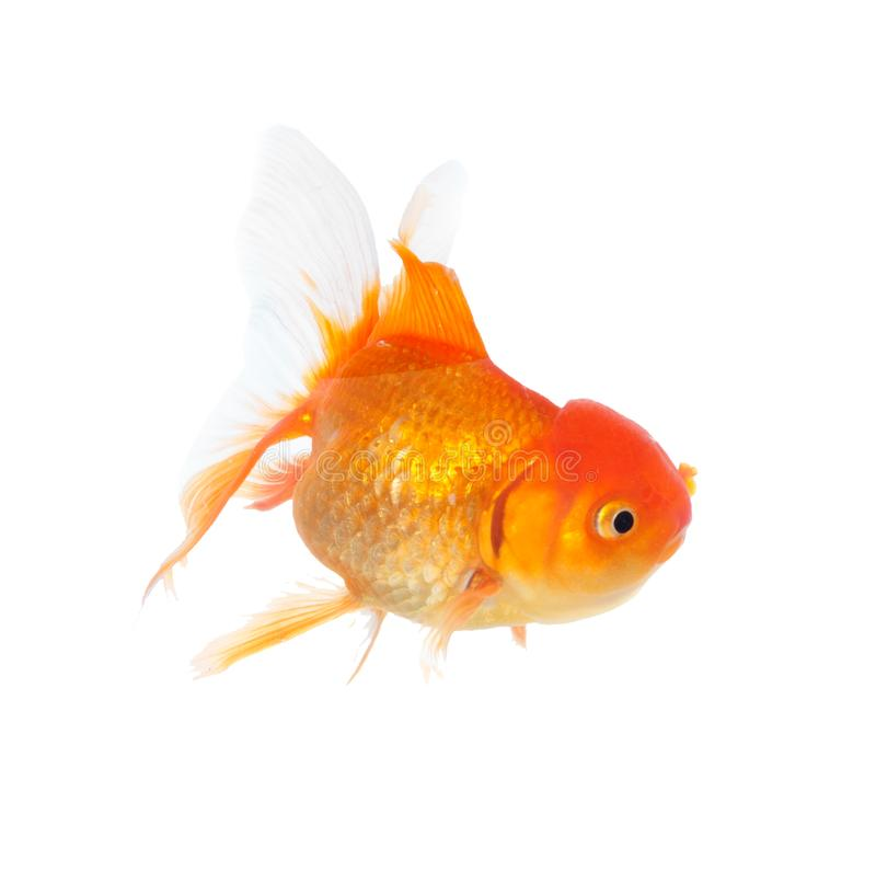 Gouden vissen op isolatiewit stock afbeeldingen