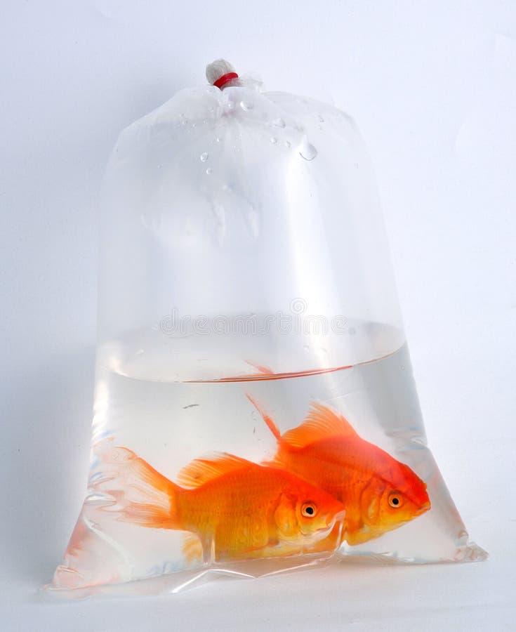 Gouden vissen in plastic zak stock afbeelding