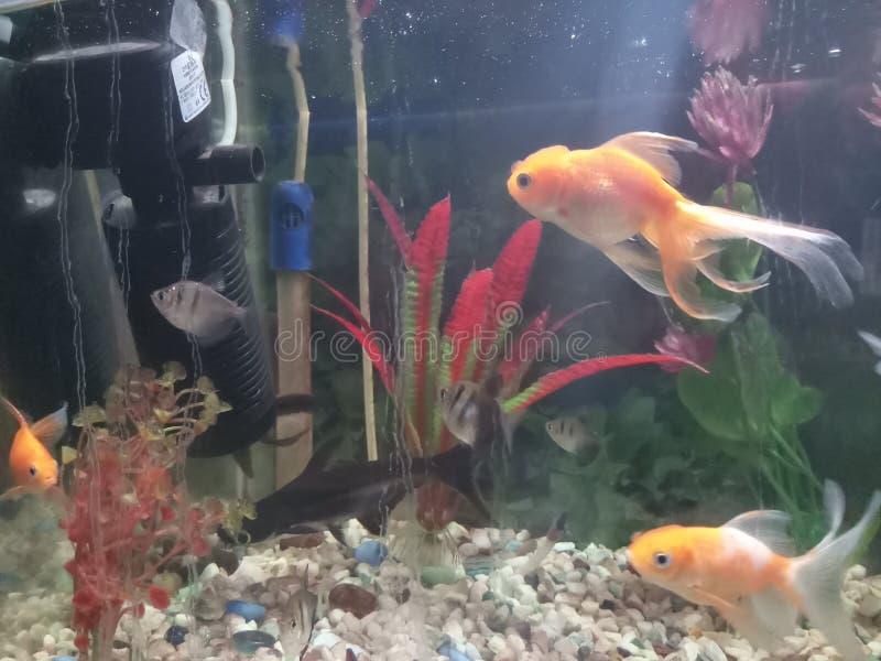 Gouden vissenaquarium royalty-vrije stock afbeelding