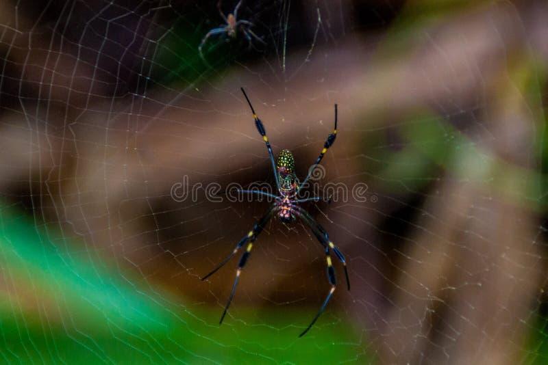 Gouden zijde orb-wever Nephila-spin in het Nationale Park van Toruguero, Costa Ri stock foto