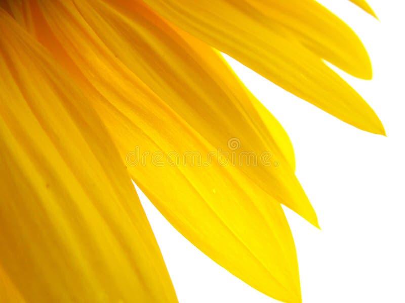 Download Gouden zon stock afbeelding. Afbeelding bestaande uit bloem - 10777751