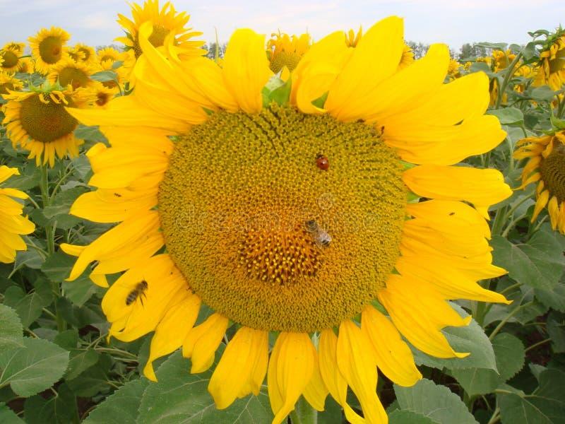 Gouden zonnebloem met lieveheersbeestje en bij stock foto
