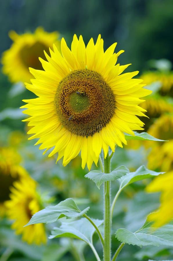 Gouden zonnebloem op het gebied royalty-vrije stock foto's