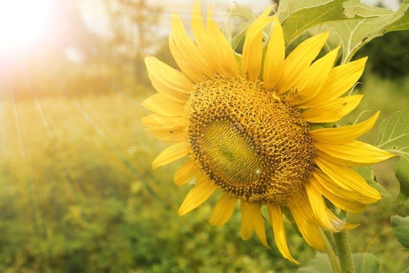Gouden zonnebloem op het gebied backlit door de stralen van de het plaatsen zon royalty-vrije stock foto